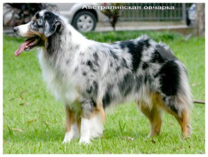 1264888238_australianshepherd01