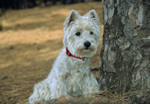 west_highland_white_terrier_03