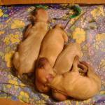 щенки-богатыри ЯриныDSC00408 щенки четверо